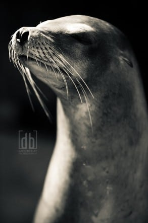 The Noblest of Sea Lions by David Bickley Photography