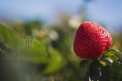 Strawberries in California by David Bickley Photography
