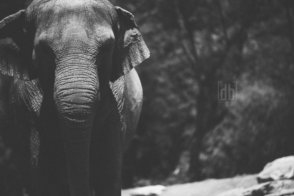 Asian Elephant by David Bickley Photography