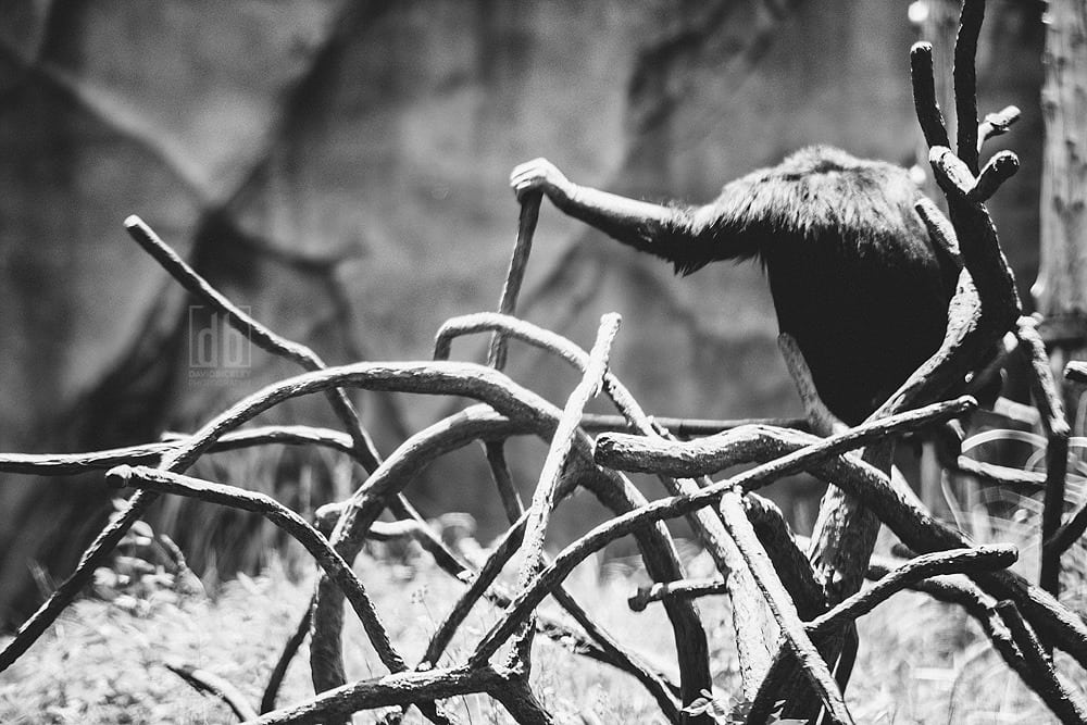 Untitled Ape by David Bickley Photography